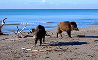 Cinghiali in libertà nel parco naturale della Maremma ad Alberese