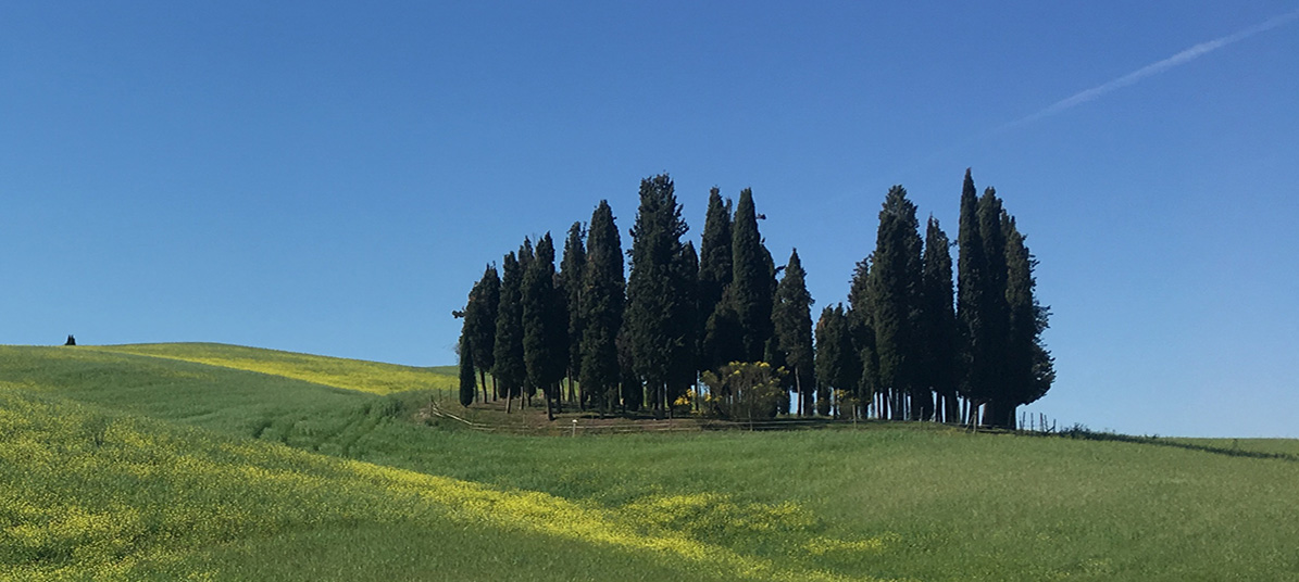 Group of cypress trees (Cupressus) in San Quirico d'Orcia, Tuscany